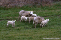 Sheep with lambs in a meadow