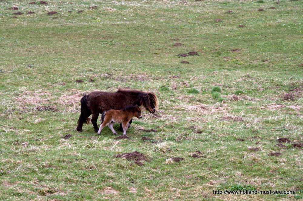 Pony and foal in a Dutch meadow