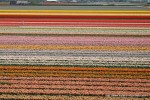 Tulip fields in Lisse